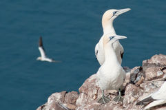 Beautiful northern gannets Stock Photos