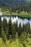 Beautiful Northwest. Pines in Mt. Rainier National park Royalty Free Stock Images