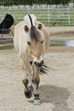 Beautiful Norwegian Fjord Coming To Say Hi. Norwegian Fjord horse coming to the gate to say hi Stock Images