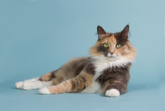 Beautiful Norwegian forst cat on a blue background Stock Image