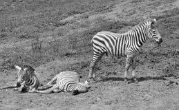 Pretty black and white zebras stock photo