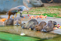Beautiful nutria eating apples Royalty Free Stock Photo