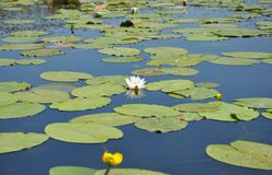 Beautiful nymphaea alba or European white water lily in the river. European white water lily royalty free stock photos