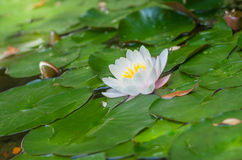 Beautiful Nymphaea flower Stock Photography