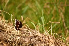Beautiful butterly sitting on dry grass Royalty Free Stock Image