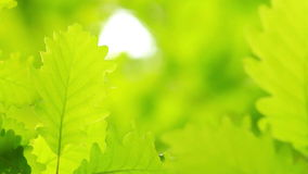 Beautiful oak leaves stock footage