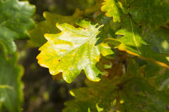 Beautiful oak leaves on a tree branch in early autumn Royalty Free Stock Image