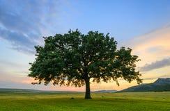 Beautiful Oak at sunset Stock Images