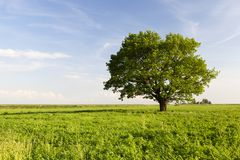 Beautiful Oak Tree Stock Image