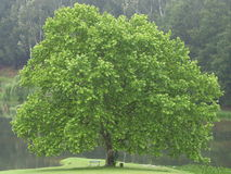 BEAUTIFUL OAK TREE. Beautful oak tree stading in meadow next to lake in the Natal Midlands in South Africa Stock Photos