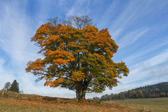 Beautiful oak tree in autumn. Colors Royalty Free Stock Photos