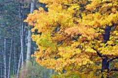 Beautiful oak tree in autumn park Stock Photo