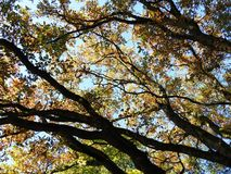 Beautiful Oak Tree Branches, Lithuania Royalty Free Stock Photography