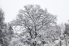 Beautiful oak tree covered with snow. Winter forest Stock Images