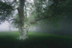 Beautiful oak tree in foggy forest royalty free stock image