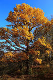 Beautiful oak tree in yellow autumn foliage Stock Photography