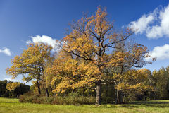 Beautiful oak trees in autumn sunny day Royalty Free Stock Photos