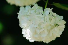Beautiful Oakleaf hydrangea blooming. In rainy season Royalty Free Stock Photo
