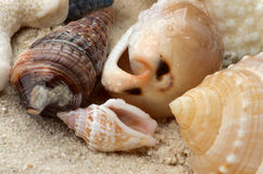 Conch Shells Stock Photography