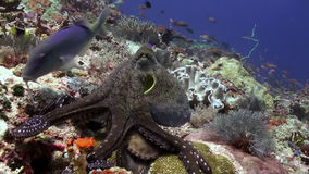 Beautiful octopus hunt for food on the sea reef. Amazing, beautiful underwater world Bali Indonesia and  life of its inhabitants, creatures and diving, travels stock video footage