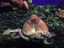 Octopus in the aquarium. Beautiful octopus on the rocks in the aquarium, tentacles with suckers royalty free stock photography