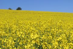Beautiful oil seed rape, Brassica napus flowers. Golden blossoming rapessed field and blue sky in sunny day. Rural Stock Photography