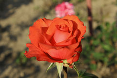 Beautiful oklahoma rose stock photography