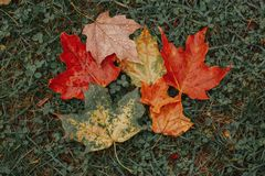 Beautiful old aged withered multicolor yellow red autumn maple leaves lying on ground