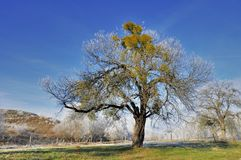 Beautiful old aplle tree against blue sky Royalty Free Stock Photography