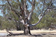 A beautiful old Australian Gum Tree. Australian Gum Trees are among the most beautiful trees I know. This one is very old and is placed next to a dam where it royalty free stock images