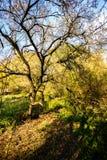 Beautiful old autumn tree Royalty Free Stock Photo