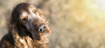 Beautiful old dog banner Royalty Free Stock Photo