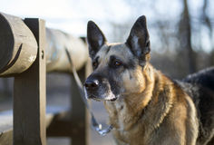 Beautiful old dog Royalty Free Stock Photography