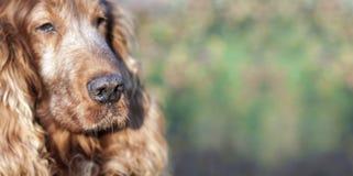 Beautiful old dog Stock Photos