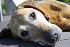 Beautiful old dog snoozing Stock Photo