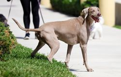 Happy beautiful old female Weimaraner dog, loving big dog playing in south Florida. Beautiful old female Weimaraner dog, loving big dog playing catch with a ball Royalty Free Stock Photography