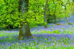 Beautiful, old oak tree in the forest with bluebells meadow, stock photo
