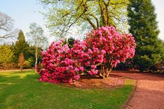 Beautiful, old park with azalea trees Royalty Free Stock Images