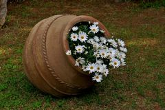 Beautiful old pot with white daisies close up royalty free stock photography
