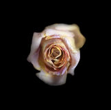 Beautiful Old Rose Stock Photo