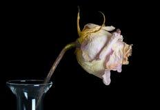 Beautiful Old Rose Royalty Free Stock Photos