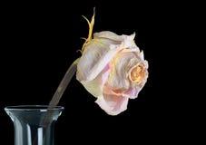Beautiful Old Rose Stock Image