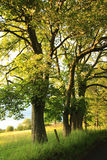Beautiful old rural road with old oak trees Royalty Free Stock Photography