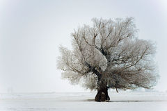 Beautiful old tree in the middle of winter Royalty Free Stock Photography