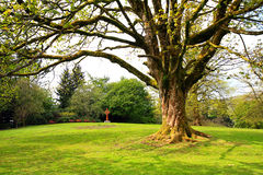Beautiful old tree in Spring Stock Images