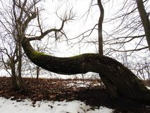 Beautiful old tree in winter, Lithuania Royalty Free Stock Photos
