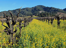 Beautiful old vines in the vineyard Royalty Free Stock Photos