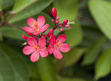 The beautiful oleander Stock Photo
