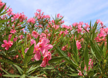 Beautiful oleander flower in the garden Royalty Free Stock Photos