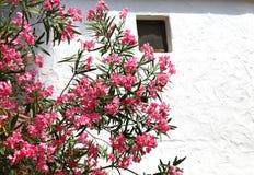 Beautiful oleander flower in the garden Stock Photos
